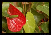 My flowers - Anthurium