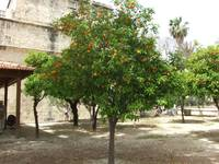 orange tree in cyprus