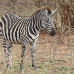"""Zebra in Natural Setting"" by patgleasonphotography"