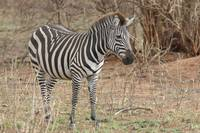 Zebra in Natural Setting