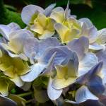 """Hydrangea"" by pudaniel"