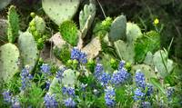 Yep!,  Bluebonnets in Texas