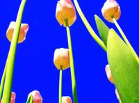 Tulips with Blue Sky I
