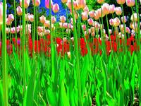 Tulip Bed in Holland, Michigan