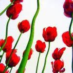 """Red Tulips from the Bottom Up II"" by michellecalkins"