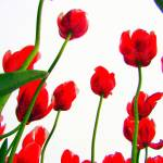 """Red Tulips from the Bottom Up III"" by michellecalkins"