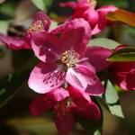 """""""Flowering Crabapple in Bloom"""" by bittersweetcottage"""
