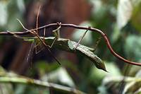 Giant Thorny Walking Stick
