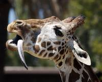 Giraffe Tongue