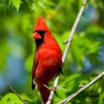 """Cardinal Red"" by tricia"