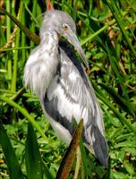 Young Small Blue Heron