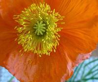 orange poppy with yellow heart