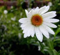 marguerite closeup