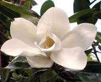 magnolia flower on Christmas Eve