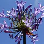 """agapanthus budded"" by lumixelia"