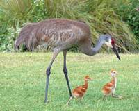 Sandhill Crane with Chicks
