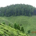 """""""Gopaldhara Tea Garden"""" by kunalchak"""