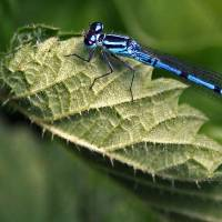Damsel Fly 1 Art Prints & Posters by martin j murphy