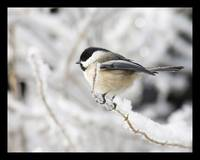 Chickadee in the winter snow