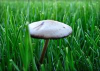 Mushroom in the grass