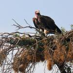 """African Vulture"" by stockphotos"
