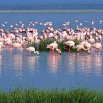 """Lake Nakuru Flamingos"" by stockphotos"