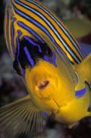 Regal Angelfish  - afr75