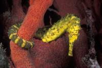 Tiger-tail Sea Horse sh85