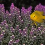 """Lemon Damselfish - df11"" by markstrickland"