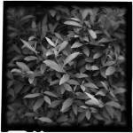"""Forsythia Leaves II"" by lensnation"