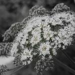 """cowparsley"" by chuietta"