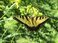 Butterfly at the Red River Gorge