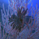 """Black Feather Star and Black Corals on the Wall"" by Mac"