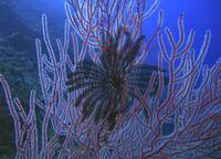 Black Feather Star and Black Corals on the Wall