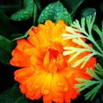 """""""Orange Calendula"""" by Kirby"""