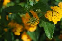 Emerging Golden Lantana