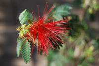 Arizona Red Fairy Duster In Full Bloom