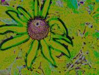 Blackeyed Susan Raw 08