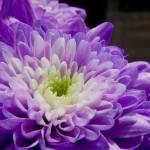 """Purple Flower"" by Simongrenfell"