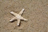Cape Cod Starfish