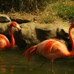 """Flamingos"" by BMoore"