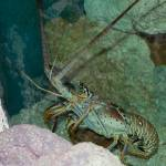 """""""lobster"""" by sharonkwascigroh"""