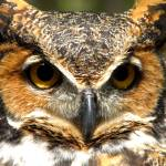 """""""Great Horned Owl"""" by AndreaNicole"""