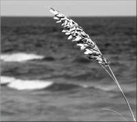 B&W Sea Oats