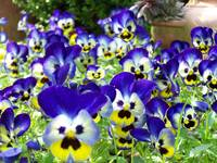 Pansy flield trip