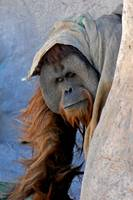 Endangered 15-year-old male Sumatran orangutan