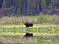 MIRRORED MOOSE