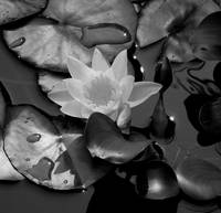Waterlily Black & White