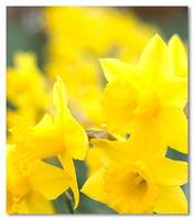 Cornish Daffs