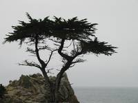 The Lone Cypress at Pebble Beach